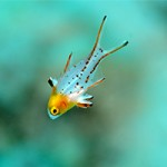 Too Cute: Juvenile Hogfish