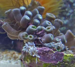 aiptasia 2 - reefs