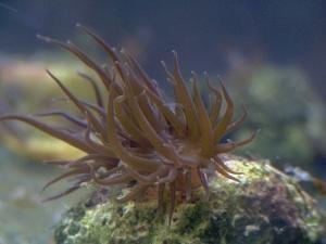 aiptasia - reefs