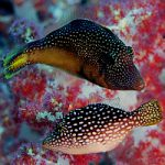 Obscure Reef Creatures – Two Undescribed Species of Mimic Filefish (Paraluteres)