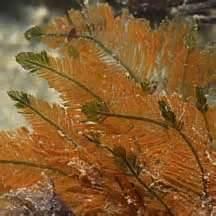bryopsis 2 - reefs