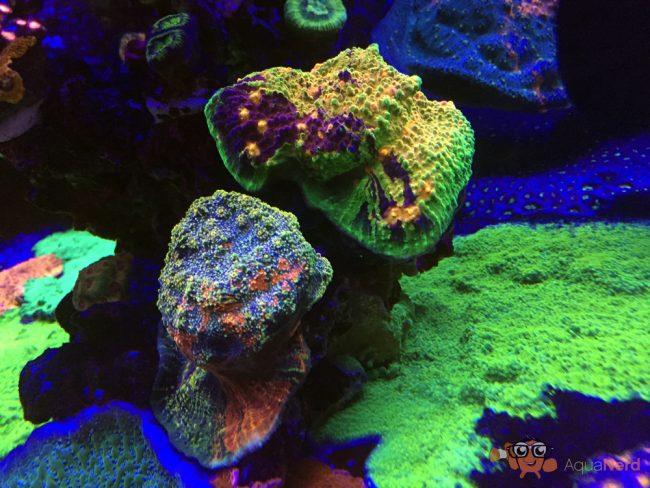 chalice corals WWC - reefs