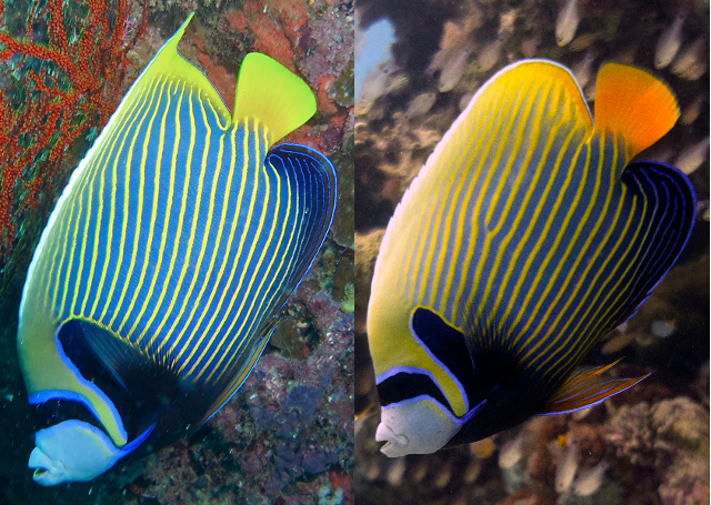 Comparison of the Pacific and Indian Ocean populations of Pomacanthus imperator. Credit: Bernard DUPONT & Malcolm Browne