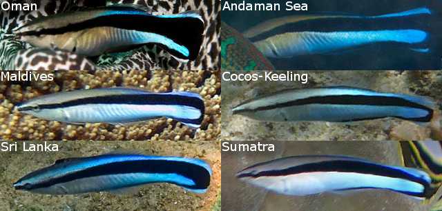 indian cleaner wrasse