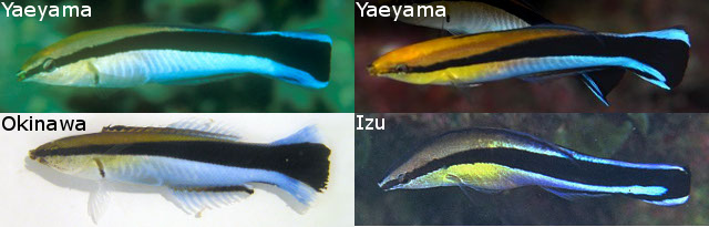 japan cleaner wrasses