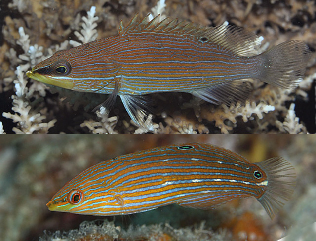 Comparing a juvenile Epinephelus leucogrammicus and a female Halichoeres melanurus, observed together at Ishigaki, Japan. Credit: diveman