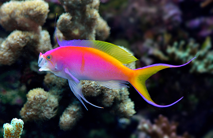Pseudanthias bartlettorum in a picture perfect pose. Photo by Lemon TYK.