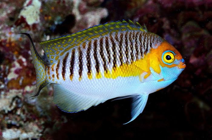 A low ISO will yield a darker image, which can be compensated with the use of a camera flash. In this scenario, a dimmer background with the subject lit up (Genicanthus semifasciatus) will create a contrasting effect. Photo by Lemon TYK.