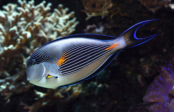 Conversely, because of Acanthurus sohal's large size, and the increased focal length I need to produce while shooting it with a 105mm lens, a blurred background like in the photo above is simply not possible., even at f/4 Photo by Lemon TYK.