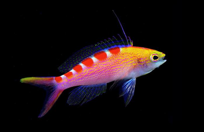 Pseudochromis flavoguttatus. Photo by Lemon TYK.