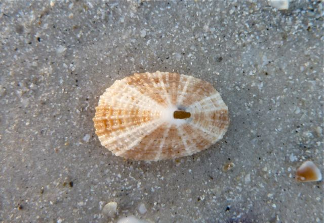 Keyhole Limpet in sand