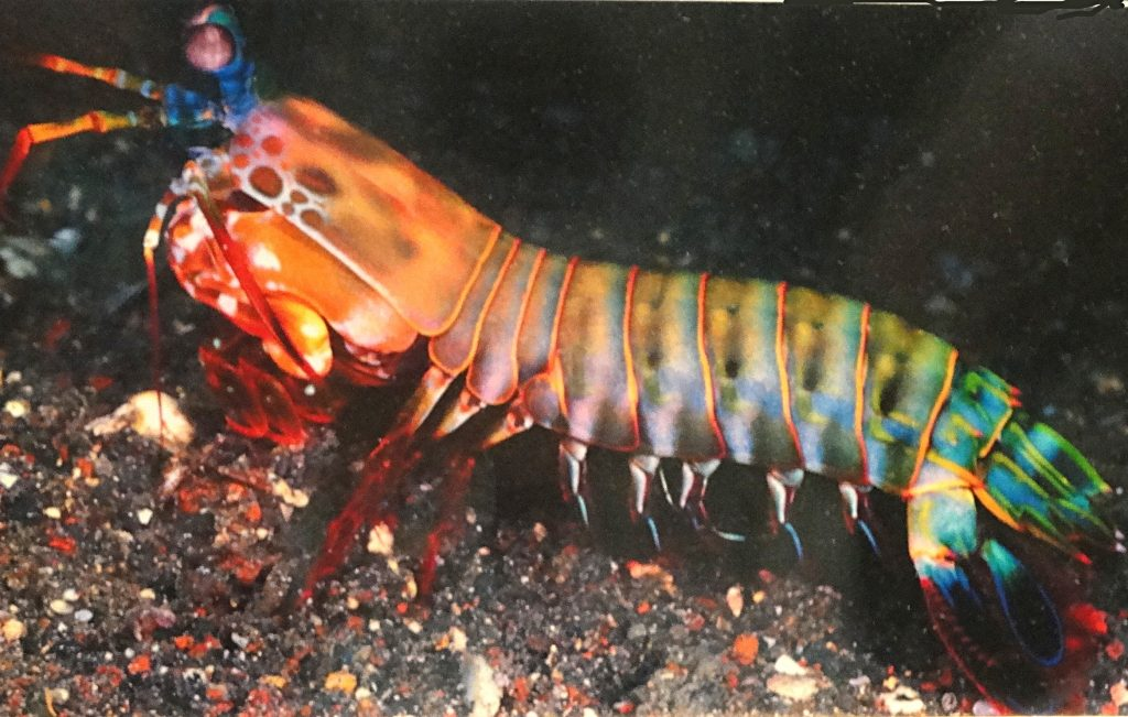 mantis shrimp - reefs