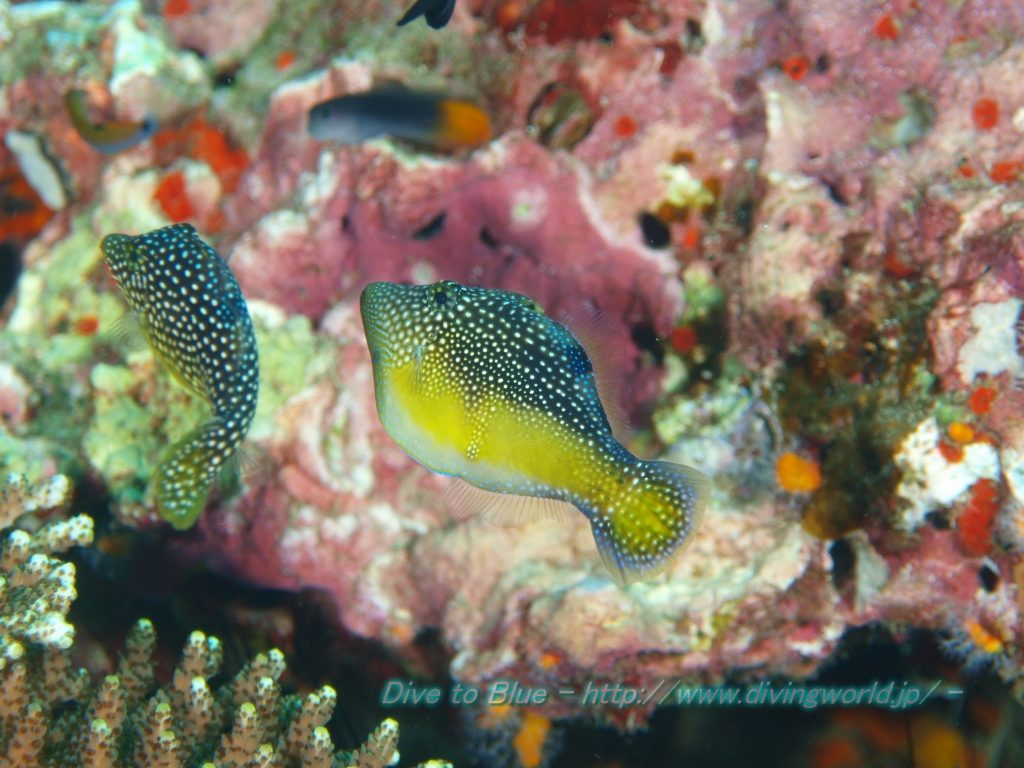 The Andaman Mimic Filefish observed at the Similan Islands. Credit: dive to blue