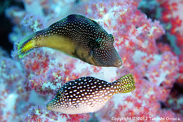 Courting males of the Andaman Mimic Filefish develop a yellow medial band. Credit: Takeshi Omura