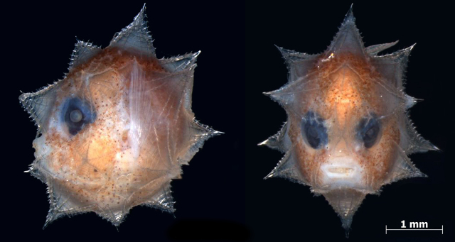 The spiky larva of the Ocean Sunfish Mola sp. Credit: David Johnson/NMNH