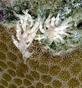 montipora-eating nudibranch 3 - reefs