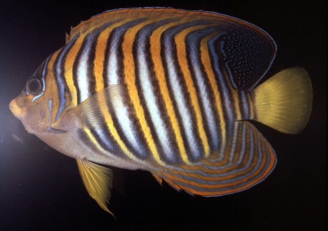 A Regal Angelfish from Moorea, French Polynesia, note the drab belly. Credit: John Randall
