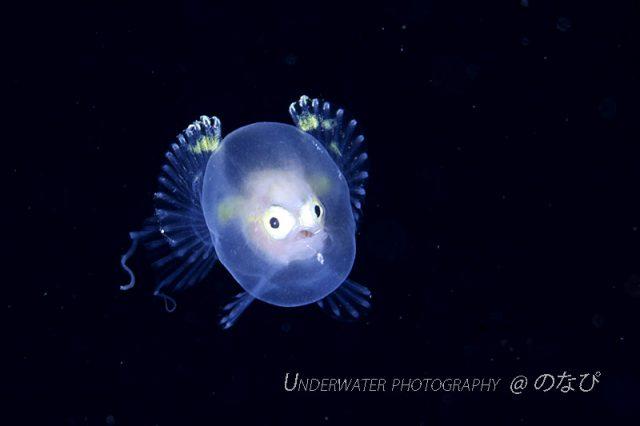 Juvenile batfish, Ogcocephalidae. Credit: nonapy