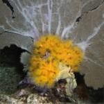 Orange Cup Coral, Tubastraea coccinea