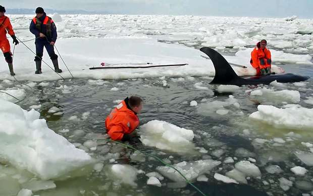 orca-rescue-thumb_2016_04_20_GalleryMedium