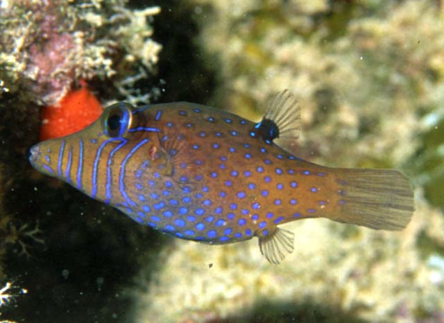 The model Canthigaster pygmaea, also quite rare. Credit: Richard Field