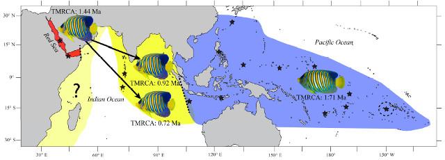 Regal Angelfish Biogeography. From Coleman et al 2016