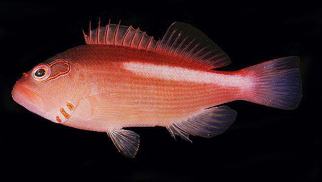 P. arcatus, the Arc-eye Hawkfish. Credit: John Randall
