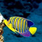 A New Subspecies of Angelfish From the Indian Ocean