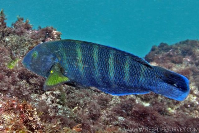 The Seven-banded Wrasse, Thalassoma septemfasciatum. Credit: Barry Hutchins