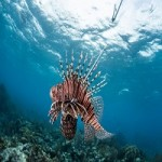 Lionfish Coming To A Supermarket Near You