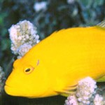A Polynesian Hawkfish Mystery – Paracirrhites xanthus, P. nisus & P. bicolor