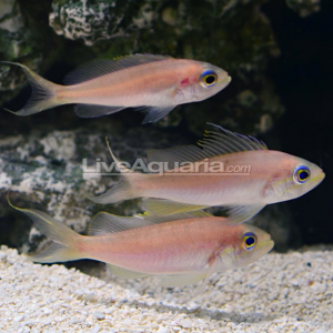 A trio of juvnile Baldwinella vivanus collected by the CuraSub. Credit: LiveAquaria