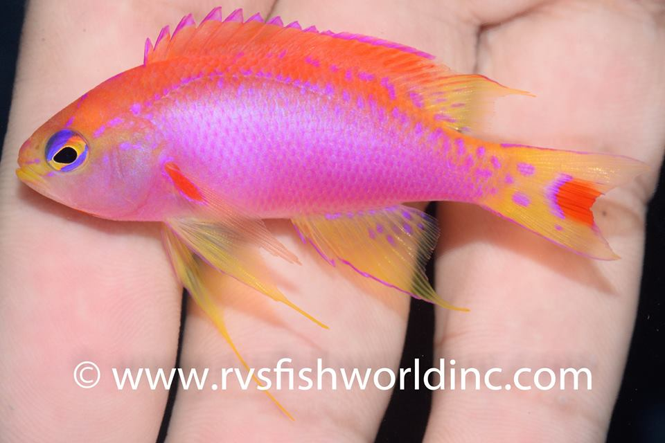 From Cagayan, Philippines. Credit: Barnett Shutman, RVS Fishworld