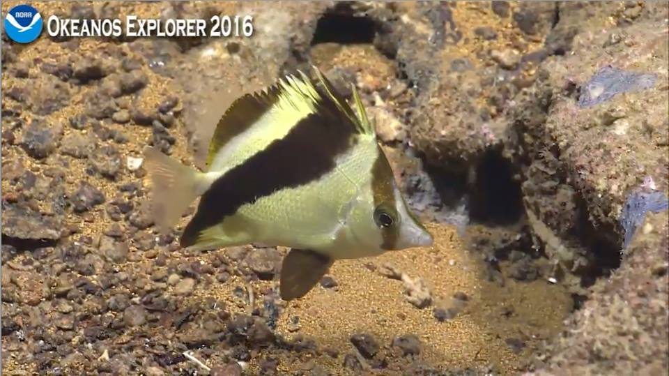 Prognathods guyotensis, the Guyote Butterflyfish. Photo credit: NOAA Okeanos Explorer 2016.