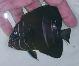 Even the juveniles of Pomacanthus rhomboidalis is gross. Credit: Iwarna Aquafarm