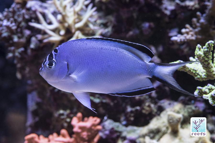 Watanabei Angelfish (Genicanthus watanabei)