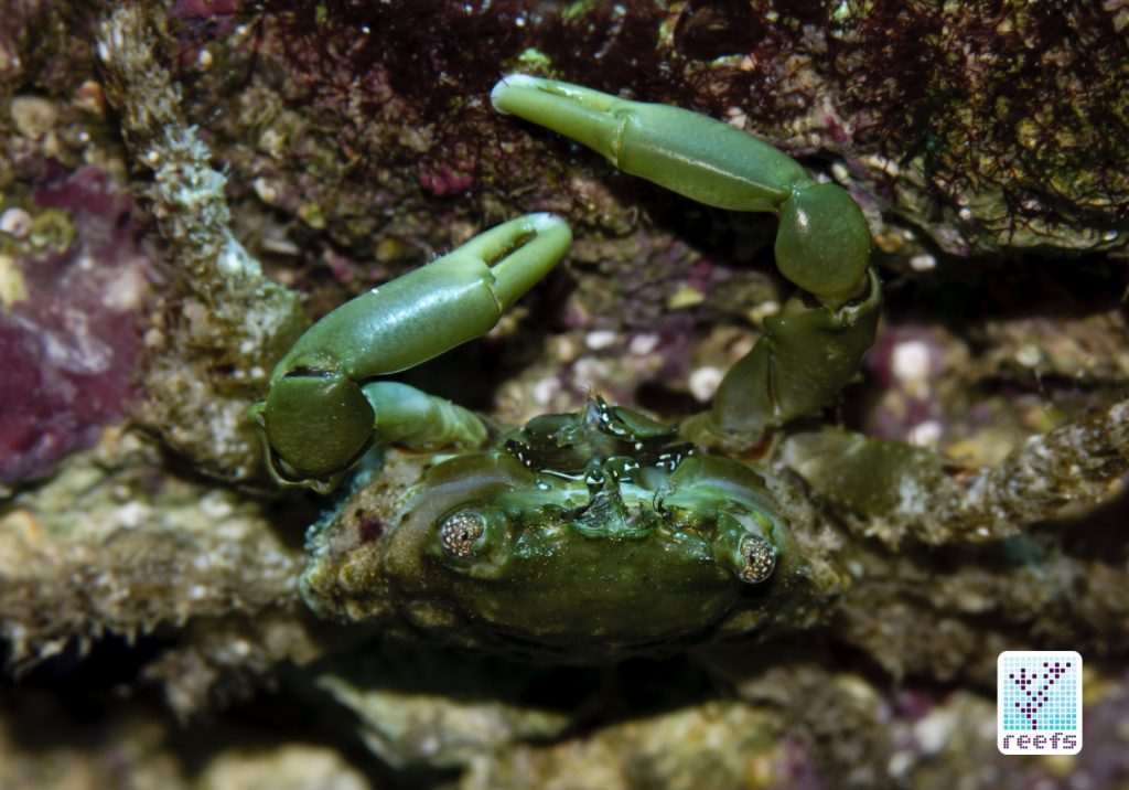 Author's emerald crab showing off