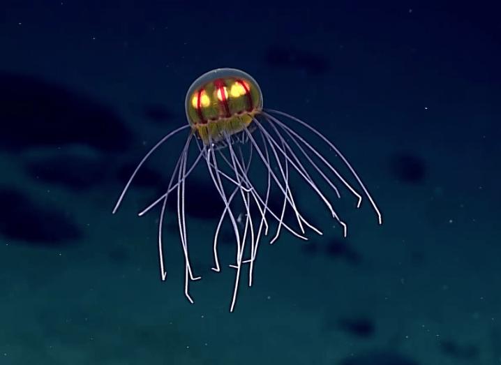 Jellyfish-718x523