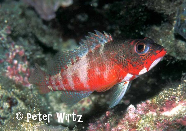 Serranus pulcher, from São Tomé. Credit: Peter Wirtz