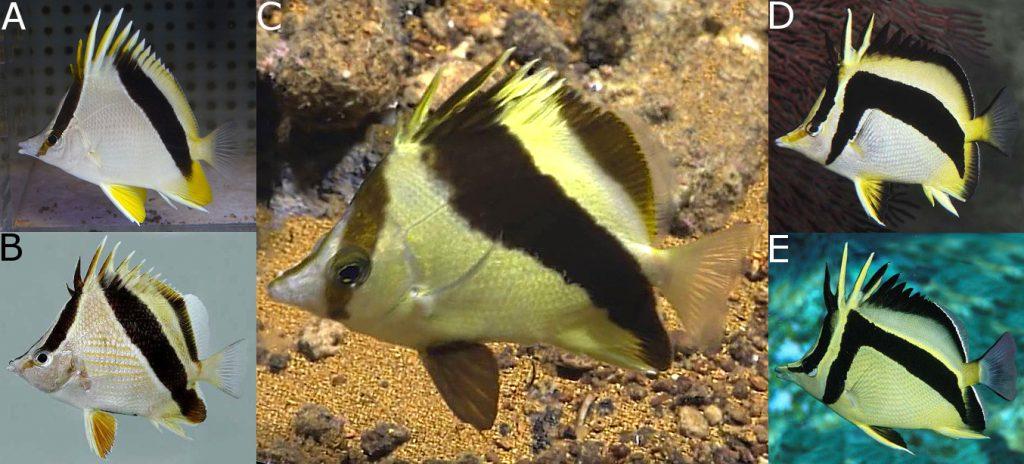 The oblique-lined group: A) P. aya, B) P. guyanensis, C) P. guyotensis, D) P. falcifer, E) P. carlhubbsi Credit: aquarise, Van Tassel & Robertson, Ross Robertson, Roger Steene