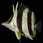 A Quick Guide to the Identification and Evolution of Prognathodes Butterflyfishes