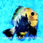 Aberrant Fishes from the Philippines – Koi Damsefish & Hybrid Triggerfish
