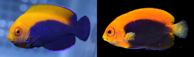 Note the differences in the coloration of the caudal fin between the Atlantic X. aurantonotus (left) and the Pacific X. acantops (right). Credit: Freewater & Natural Marine Aquarium