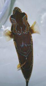 """""""Blaasop"""" is Dutch for pufferfish. Credit: Iwarna Aquafarms"""