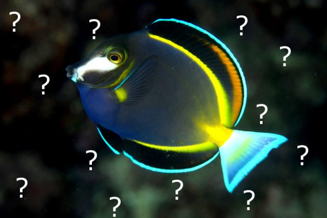 The japonicus variant of the Powder Brown Surgeonfish, from Okinawa. Credit: yusuke