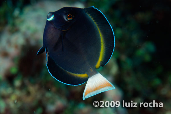 This nigricans X achilles hybrid was observed in Guam, near the western limits of where the Achilles Surgeonfish can be found. Similar specimens studied by DiBattista et al 2016 found none containing nigricans mitochondrial DNA, suggesting such crosses always involve a female A. achilles and a male A. nigricans. Credit: Luiz Rocha