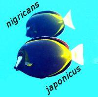 nigricans thumb