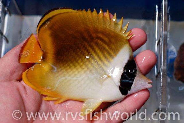 A Pandacoon Butterflyfish? Credit: Barnett Shutman / RVS Fishworld