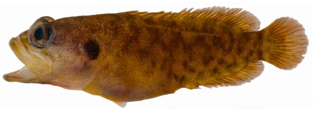 paucilepis