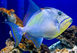 queen triggerfish - reefs